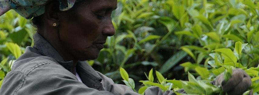 sri-lanka-tea plantation