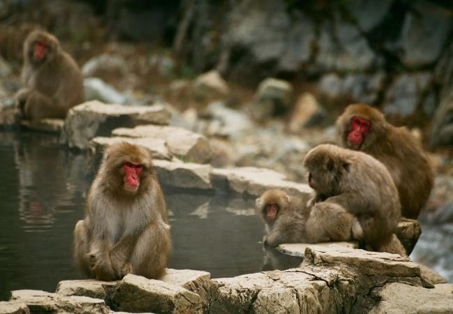 Monkey Park Japan
