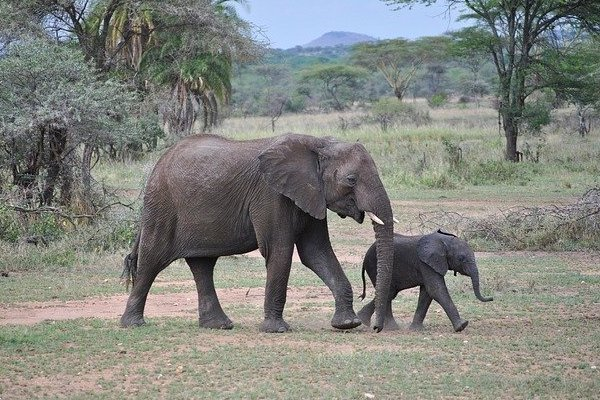Elephant and Calf Africa