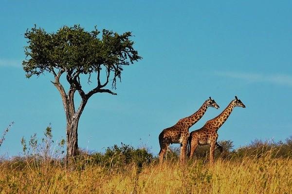 Wildlife Africa Giraffes