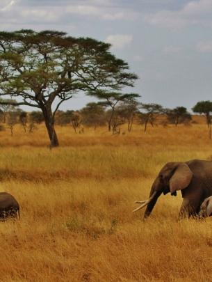 elephants-Tanzania