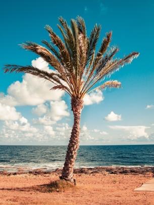 Cyprus Palm Tree